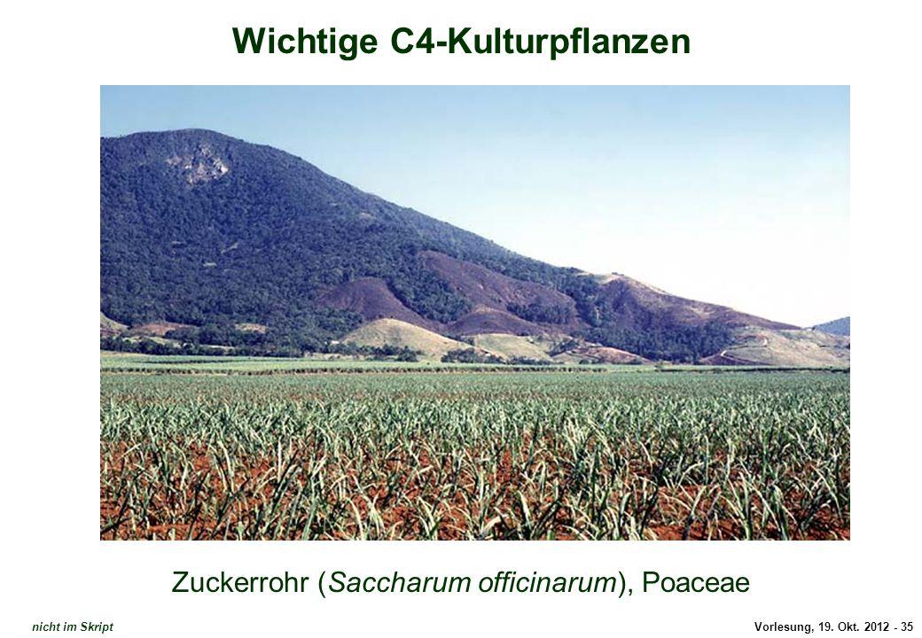 Vorlesung, 19. Okt. 2012 - 35 Wichtige C4-Kulturpflanzen Zuckerrohr (Saccharum officinarum), Poaceae Zuckerrohr (2) nicht im Skript