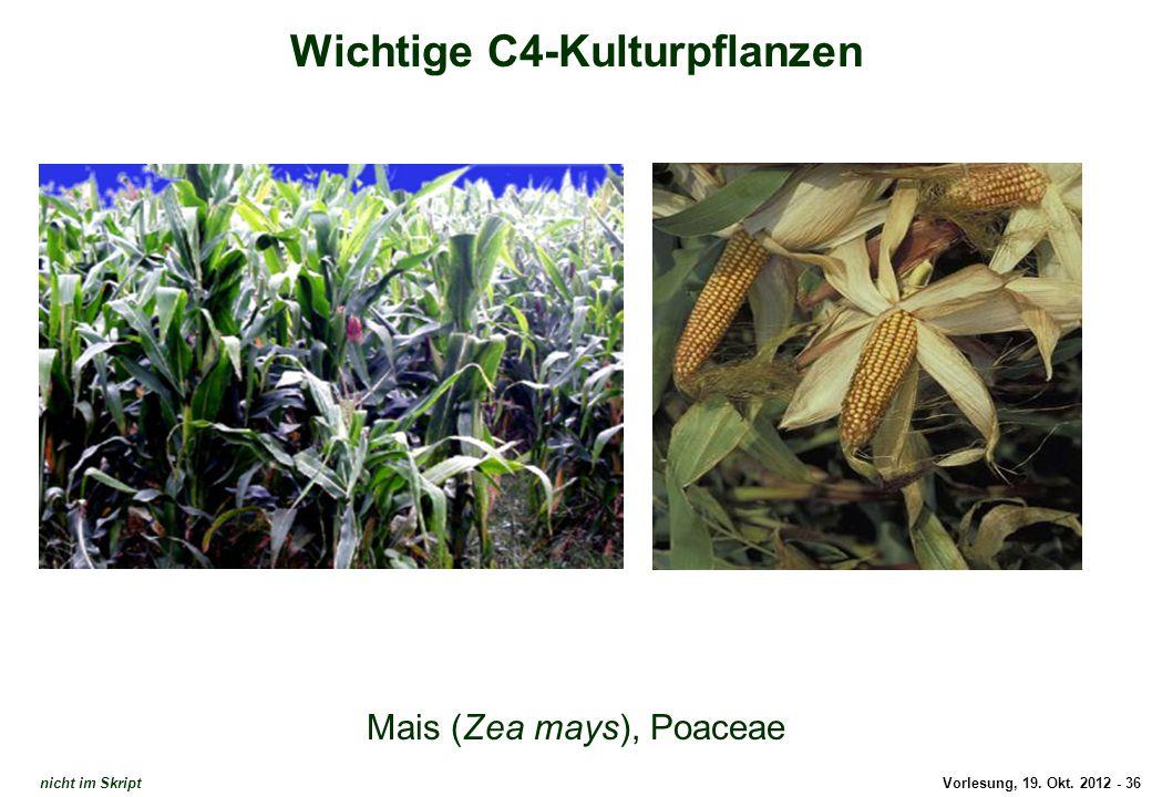 Vorlesung, 19. Okt. 2012 - 36 Wichtige C4-Kulturpflanzen Mais (Zea mays), Poaceae Mais nicht im Skript