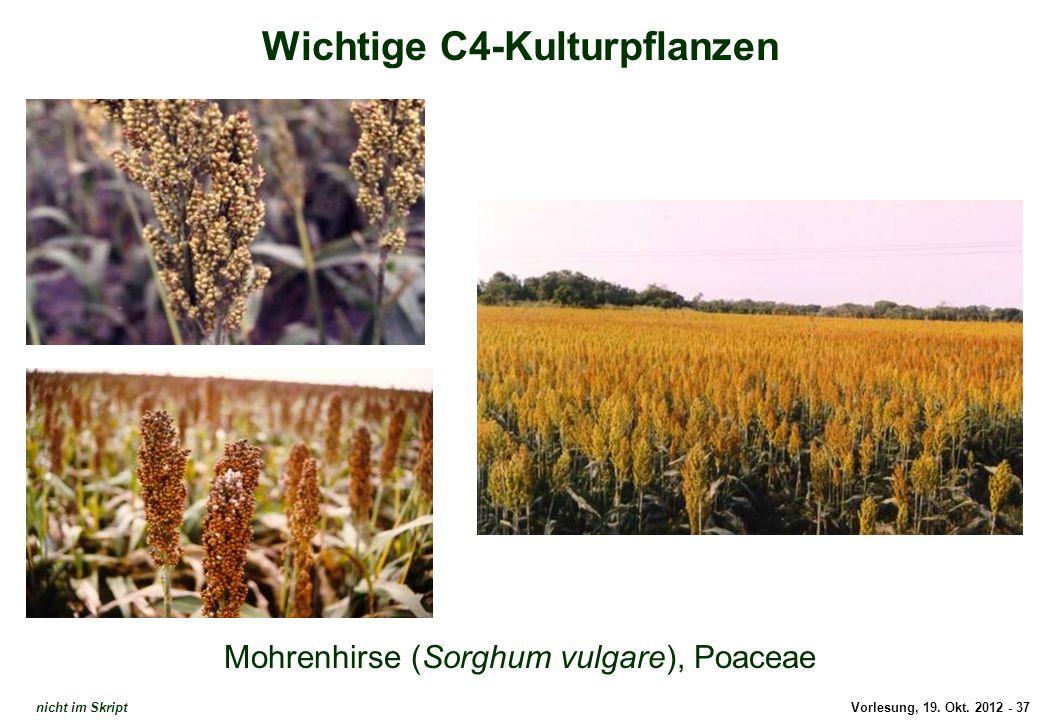 Vorlesung, 19. Okt. 2012 - 37 Wichtige C4-Kulturpflanzen Mohrenhirse (Sorghum vulgare), Poaceae Sorghum nicht im Skript