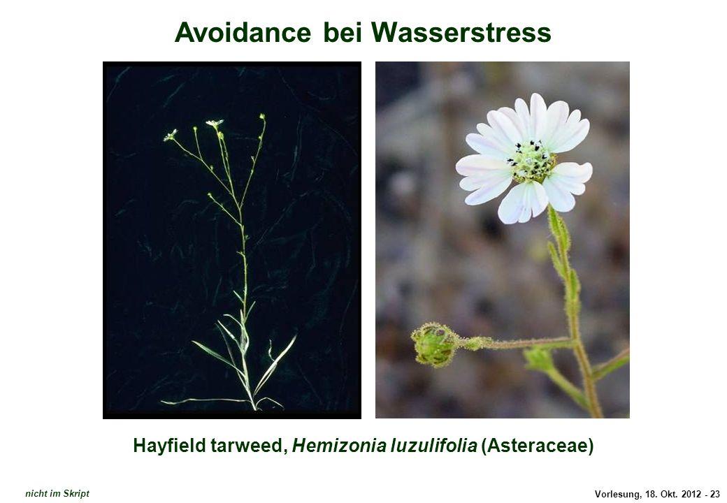 Vorlesung, 18. Okt. 2012 - 23 Avoidance bei Wasserstress Hayfield tarweed, Hemizonia luzulifolia (Asteraceae) Avoidance: Hemizonia luzulifolia nicht i