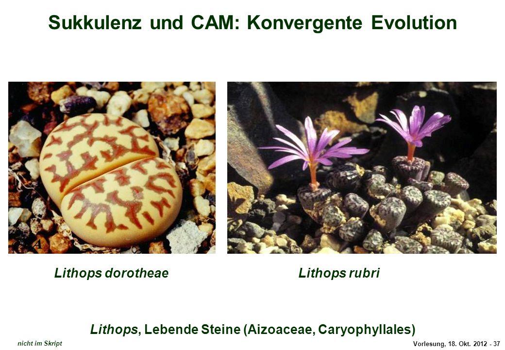 Vorlesung, 18. Okt. 2012 - 37 Sukkulenz und CAM: Konvergente Evolution Lithops, Lebende Steine (Aizoaceae, Caryophyllales) Lithops dorotheaeLithops ru