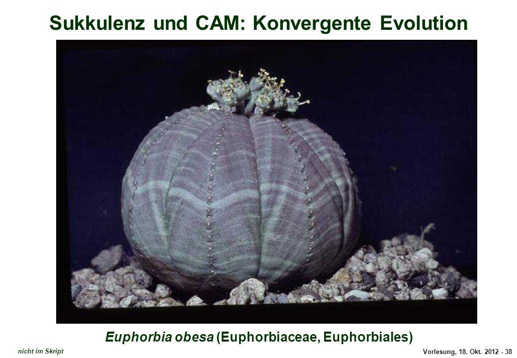Vorlesung, 18. Okt. 2012 - 38 Sukkulenz und CAM: Konvergente Evolution Euphorbia obesa (Euphorbiaceae, Euphorbiales) Euphorbia rosea nicht im Skript