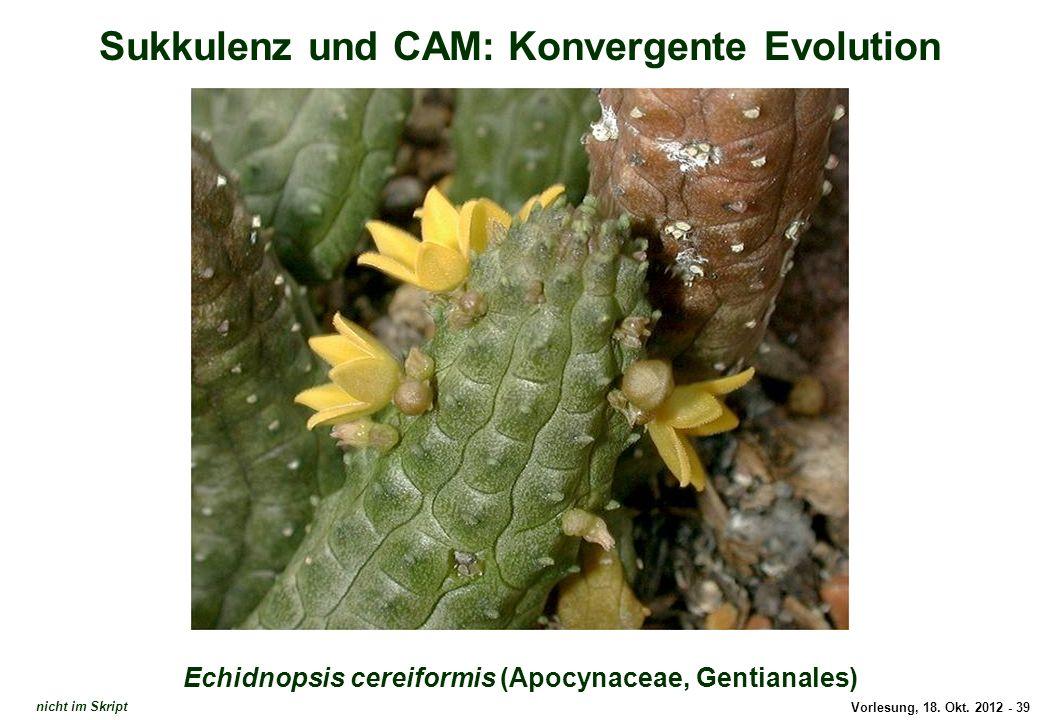 Vorlesung, 18. Okt. 2012 - 39 Sukkulenz und CAM: Konvergente Evolution Echidnopsis cereiformis (Apocynaceae, Gentianales) Echidnopsis cereiformis nich