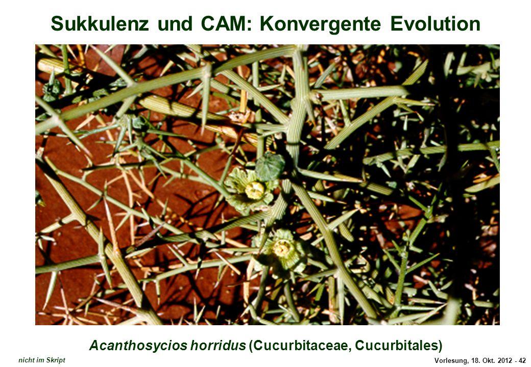 Vorlesung, 18. Okt. 2012 - 42 Sukkulenz und CAM: Konvergente Evolution Acanthosycios horridus (Cucurbitaceae, Cucurbitales) Acanthosycios horridus nic