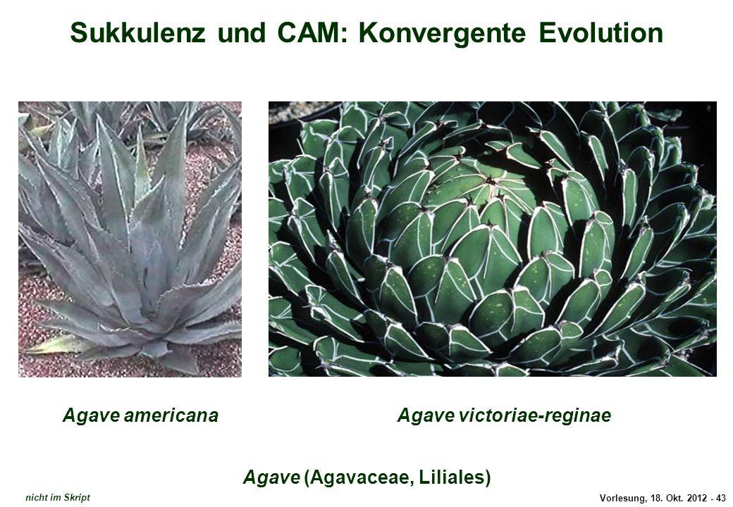 Vorlesung, 18. Okt. 2012 - 43 Sukkulenz und CAM: Konvergente Evolution Agave (Agavaceae, Liliales) Agave americanaAgave victoriae-reginae Agave nicht