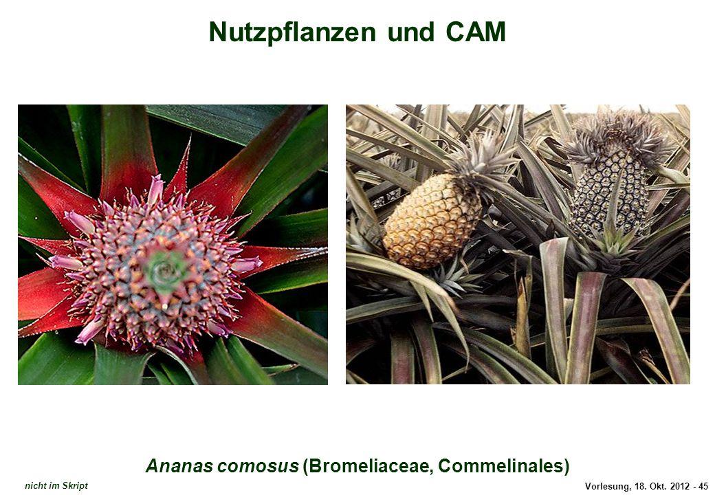 Vorlesung, 18. Okt. 2012 - 45 Nutzpflanzen und CAM Ananas comosus (Bromeliaceae, Commelinales) Ananas comosus nicht im Skript