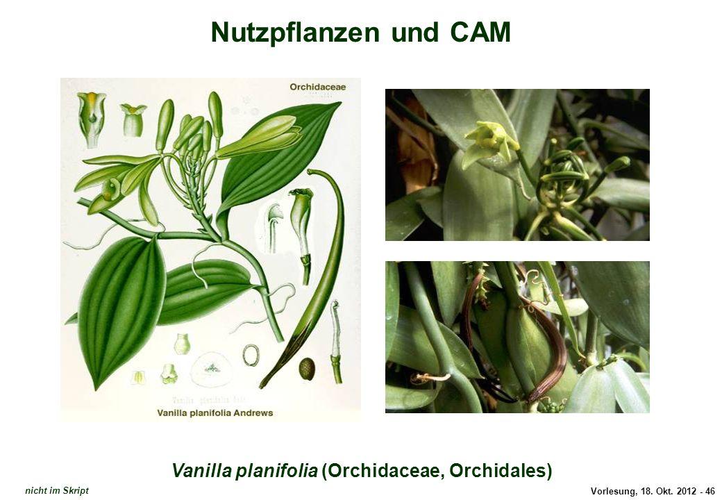 Vorlesung, 18. Okt. 2012 - 46 Nutzpflanzen und CAM Vanilla planifolia (Orchidaceae, Orchidales) Vanilla planifolia nicht im Skript