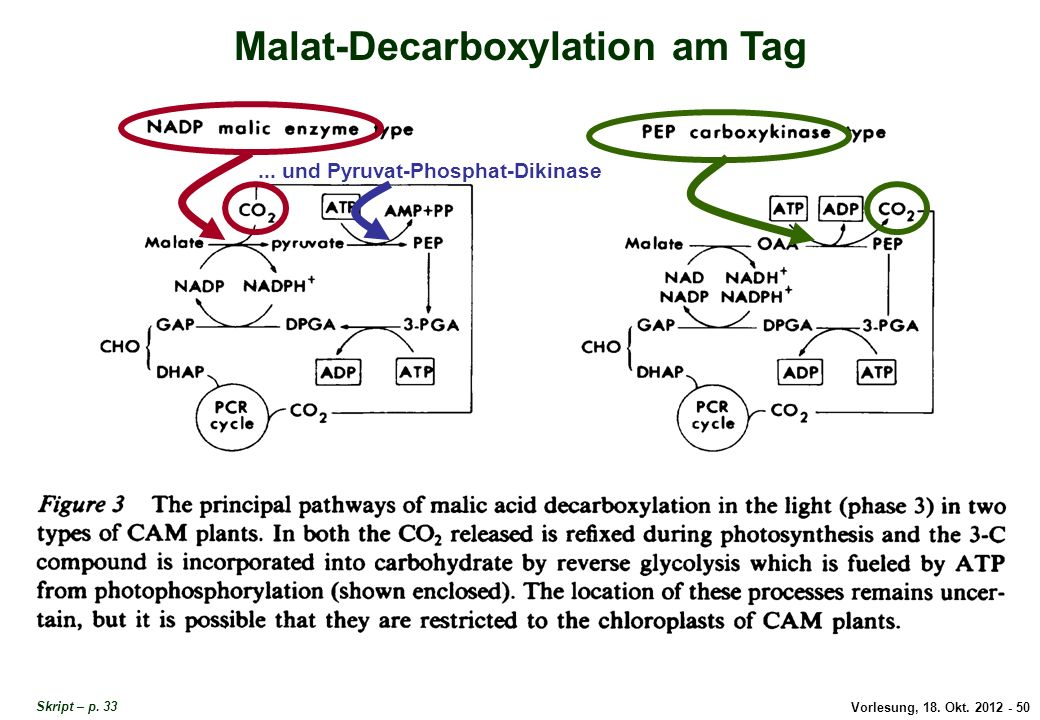 Vorlesung, 18. Okt. 2012 - 50 Malat-Decarboxylation am Tag... und Pyruvat-Phosphat-Dikinase Malat-Decarboxylation am Tag Skript – p. 33