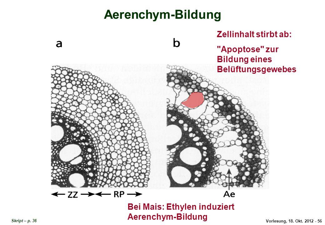 Vorlesung, 18. Okt. 2012 - 56 Aerenchym-Bildung Zellinhalt stirbt ab: