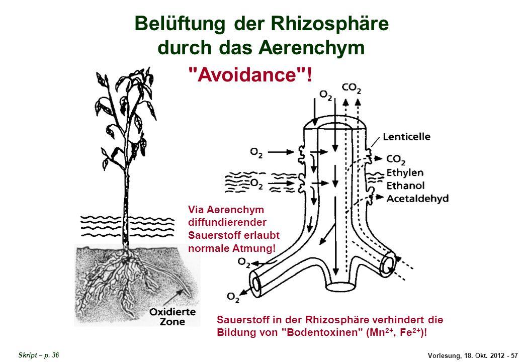 Vorlesung, 18. Okt. 2012 - 57 Belüftung der Rhizosphäre durch das Aerenchym Via Aerenchym diffundierender Sauerstoff erlaubt normale Atmung! Belüftung