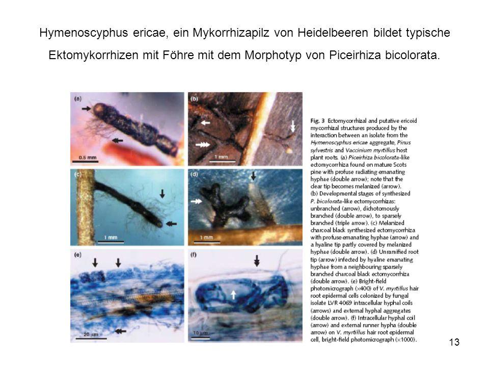 13 Hymenoscyphus ericae, ein Mykorrhizapilz von Heidelbeeren bildet typische Ektomykorrhizen mit Föhre mit dem Morphotyp von Piceirhiza bicolorata.
