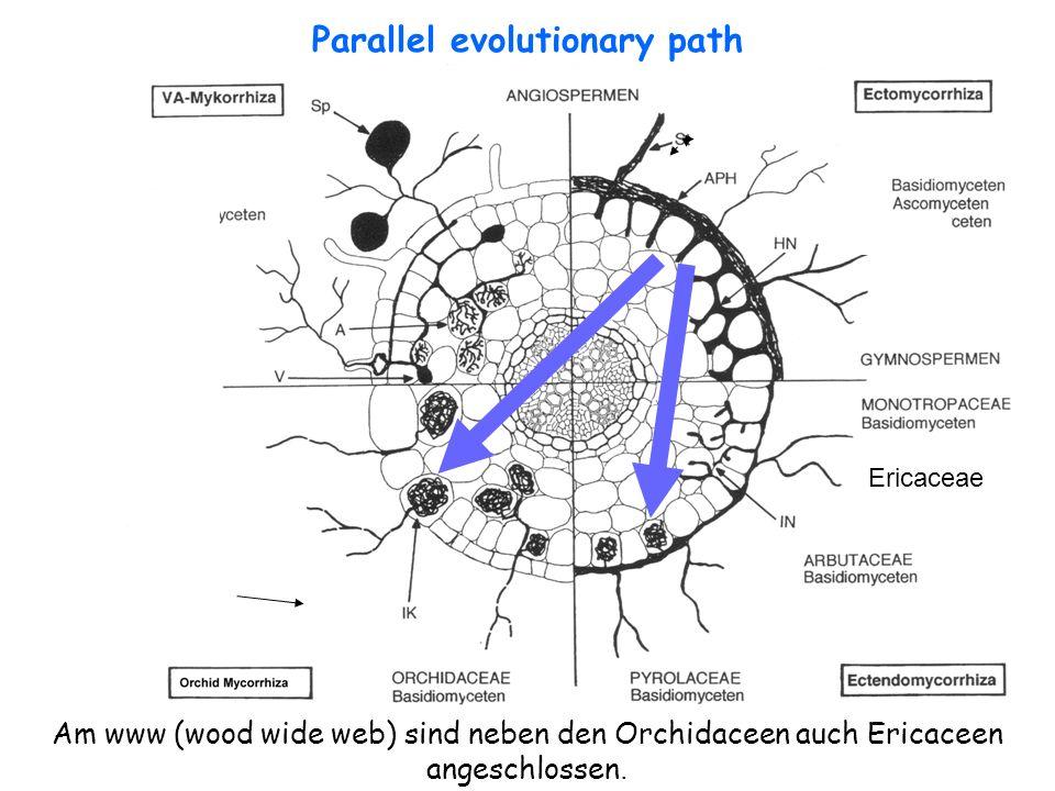 21 Ericaceae Parallel evolutionary path Am www (wood wide web) sind neben den Orchidaceen auch Ericaceen angeschlossen.