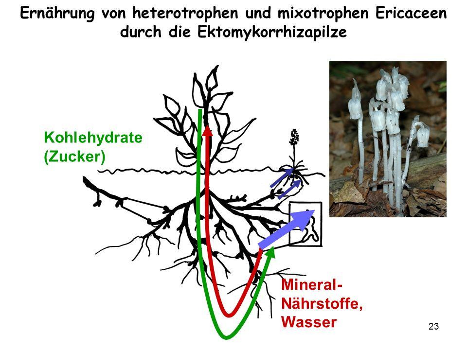 23 Kohlehydrate (Zucker) Mineral- Nährstoffe, Wasser Ernährung von heterotrophen und mixotrophen Ericaceen durch die Ektomykorrhizapilze