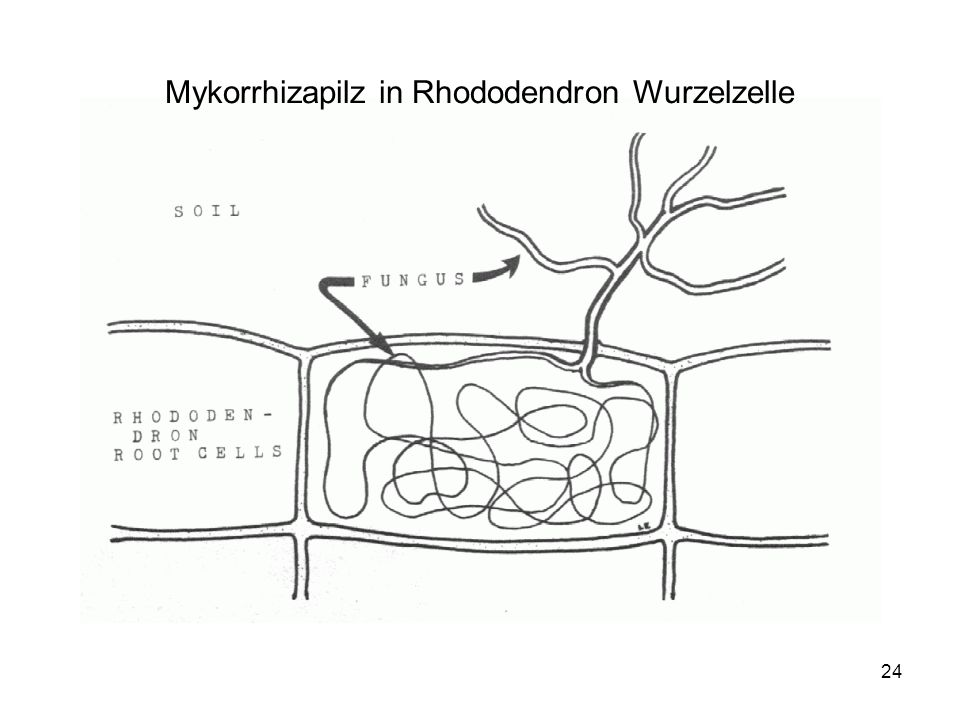 24 Mykorrhizapilz in Rhododendron Wurzelzelle