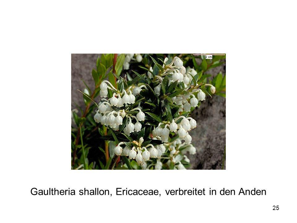 25 Gaultheria shallon, Ericaceae, verbreitet in den Anden