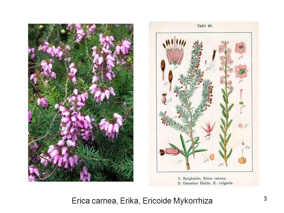 3 Erica carnea, Erika, Ericoide Mykorrhiza