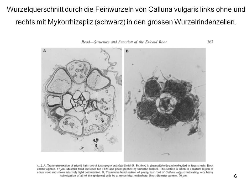 6 Wurzelquerschnitt durch die Feinwurzeln von Calluna vulgaris links ohne und rechts mit Mykorrhizapilz (schwarz) in den grossen Wurzelrindenzellen.