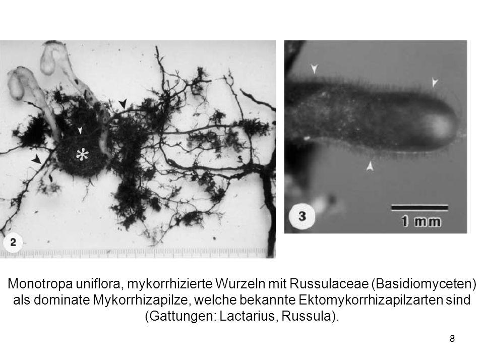 8 Monotropa uniflora, mykorrhizierte Wurzeln mit Russulaceae (Basidiomyceten) als dominate Mykorrhizapilze, welche bekannte Ektomykorrhizapilzarten si