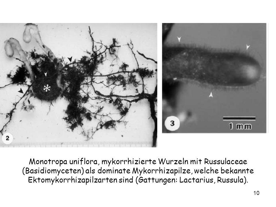 10 Monotropa uniflora, mykorrhizierte Wurzeln mit Russulaceae (Basidiomyceten) als dominate Mykorrhizapilze, welche bekannte Ektomykorrhizapilzarten sind (Gattungen: Lactarius, Russula).