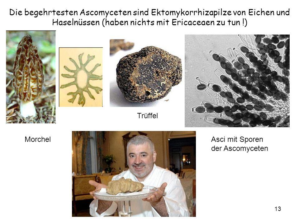13 Morchel Trüffel Asci mit Sporen der Ascomyceten Die begehrtesten Ascomyceten sind Ektomykorrhizapilze von Eichen und Haselnüssen (haben nichts mit Ericaceaen zu tun !)