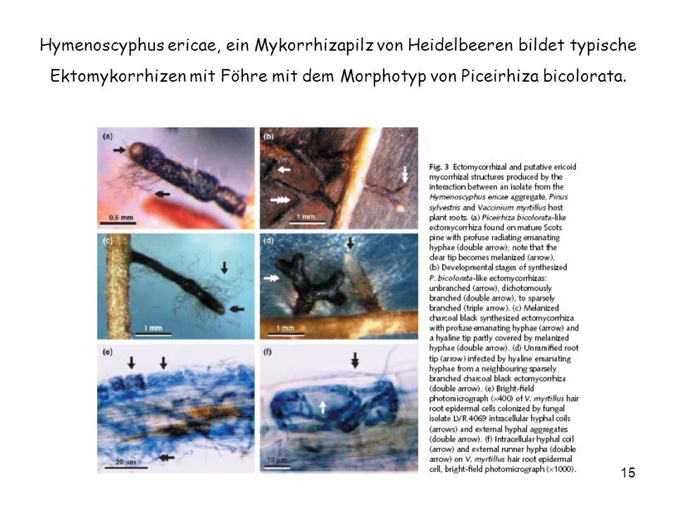 15 Hymenoscyphus ericae, ein Mykorrhizapilz von Heidelbeeren bildet typische Ektomykorrhizen mit Föhre mit dem Morphotyp von Piceirhiza bicolorata.
