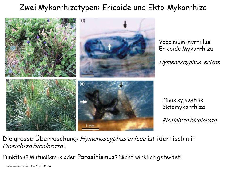Zwei Mykorrhizatypen: Ericoide und Ekto-Mykorrhiza Funktion.