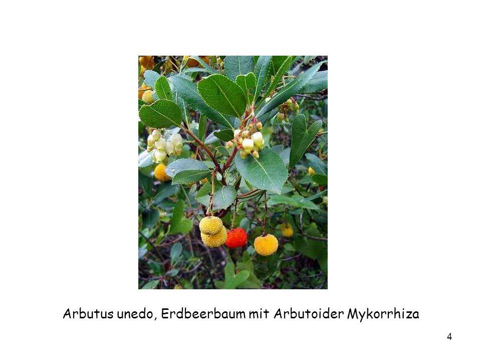 4 Arbutus unedo, Erdbeerbaum mit Arbutoider Mykorrhiza
