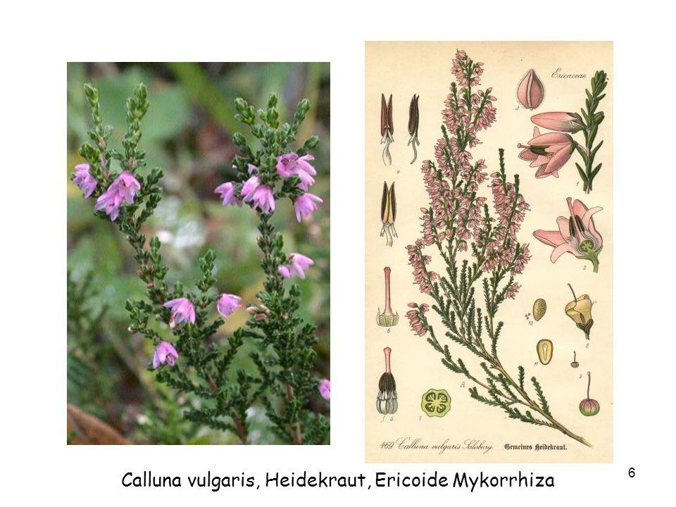 6 Calluna vulgaris, Heidekraut, Ericoide Mykorrhiza