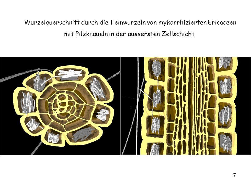 7 Wurzelquerschnitt durch die Feinwurzeln von mykorrhizierten Ericaceen mit Pilzknäueln in der äussersten Zellschicht