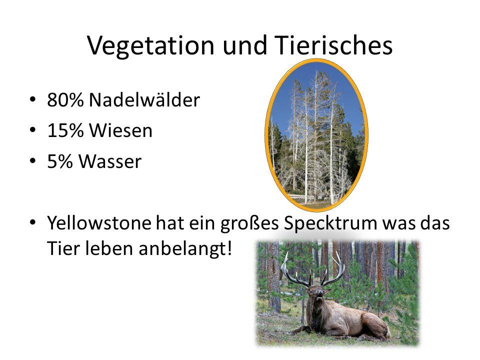 Vegetation und Tierisches 80% Nadelwälder 15% Wiesen 5% Wasser Yellowstone hat ein großes Specktrum was das Tier leben anbelangt!