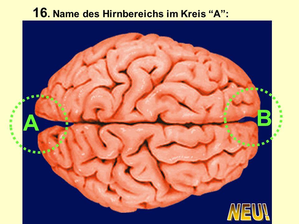 A B 16. Name des Hirnbereichs im Kreis A: