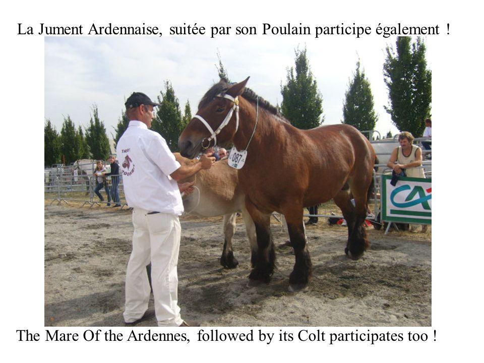 La Jument Ardennaise, suitée par son Poulain participe également ! The Mare Of the Ardennes, followed by its Colt participates too !