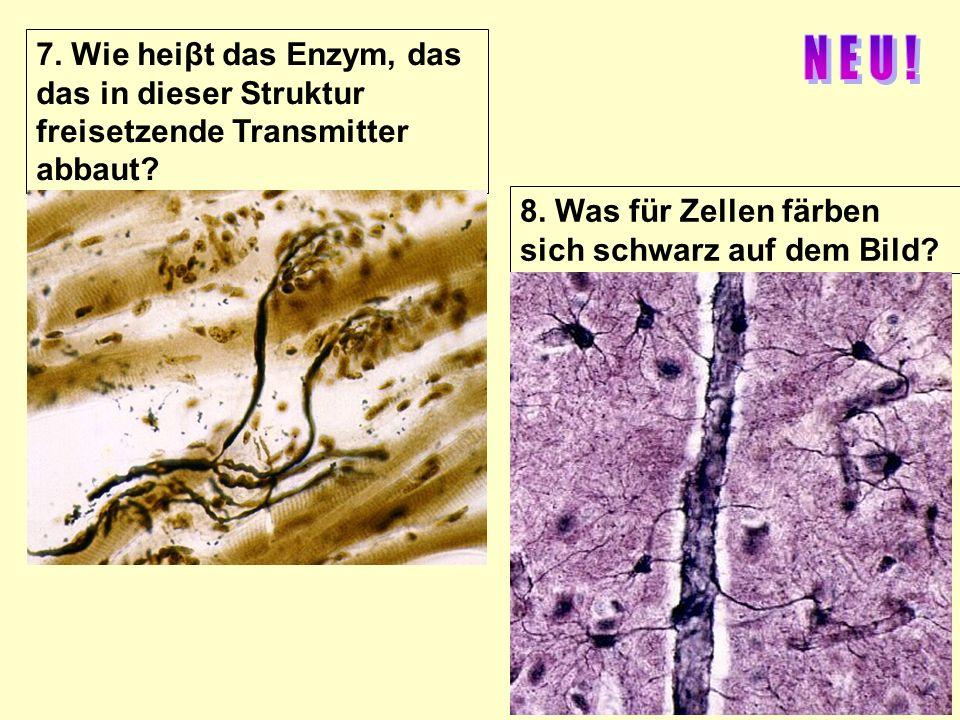 7. Wie heiβt das Enzym, das das in dieser Struktur freisetzende Transmitter abbaut? 8. Was für Zellen färben sich schwarz auf dem Bild?