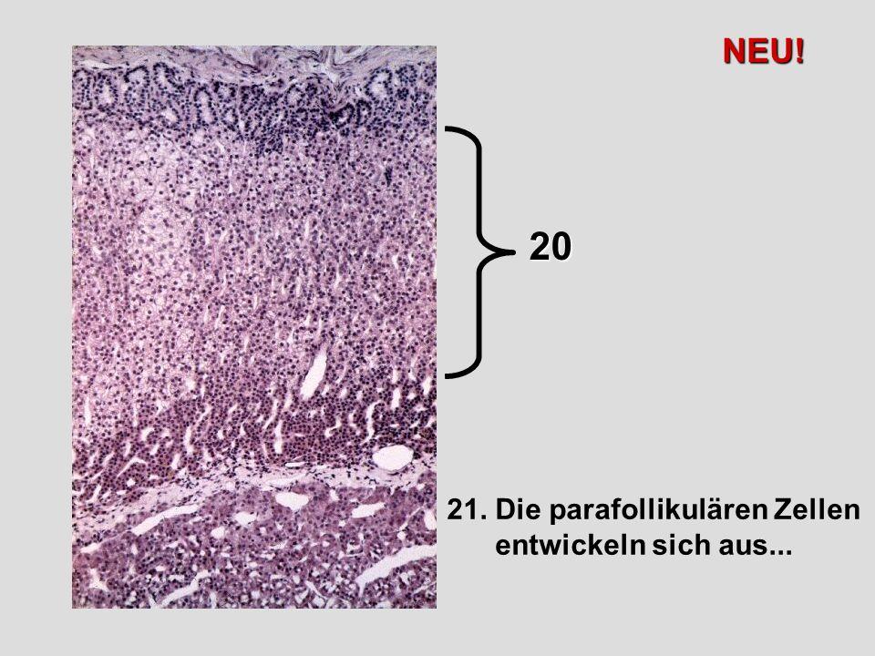 21. Die parafollikulären Zellen entwickeln sich aus... 20 NEU!