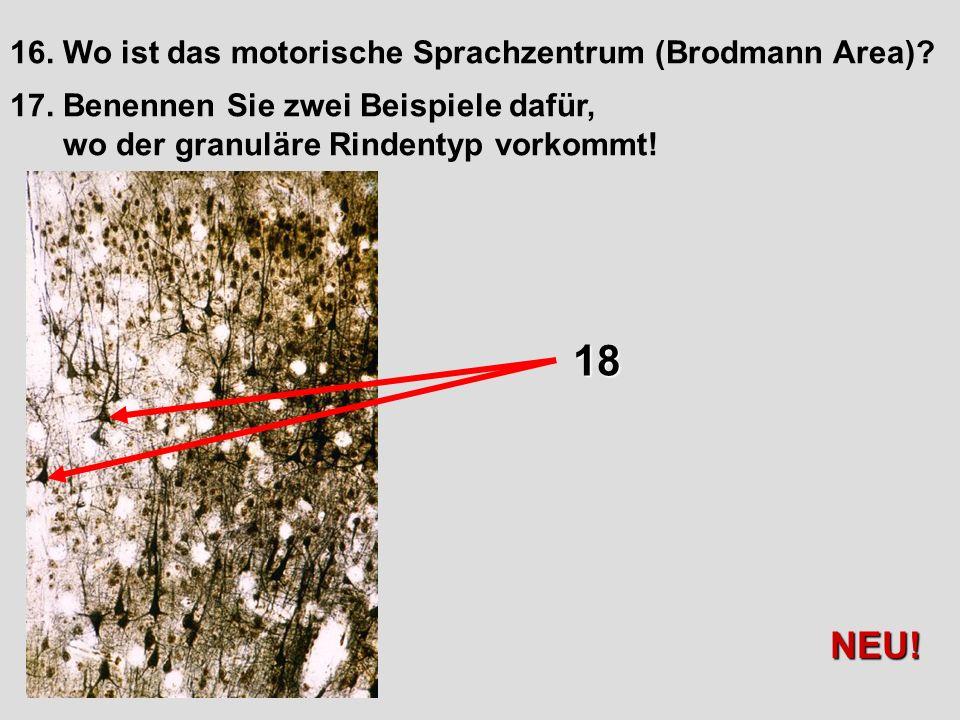 16. Wo ist das motorische Sprachzentrum (Brodmann Area)? 17. Benennen Sie zwei Beispiele dafür, wo der granuläre Rindentyp vorkommt! 18 NEU!