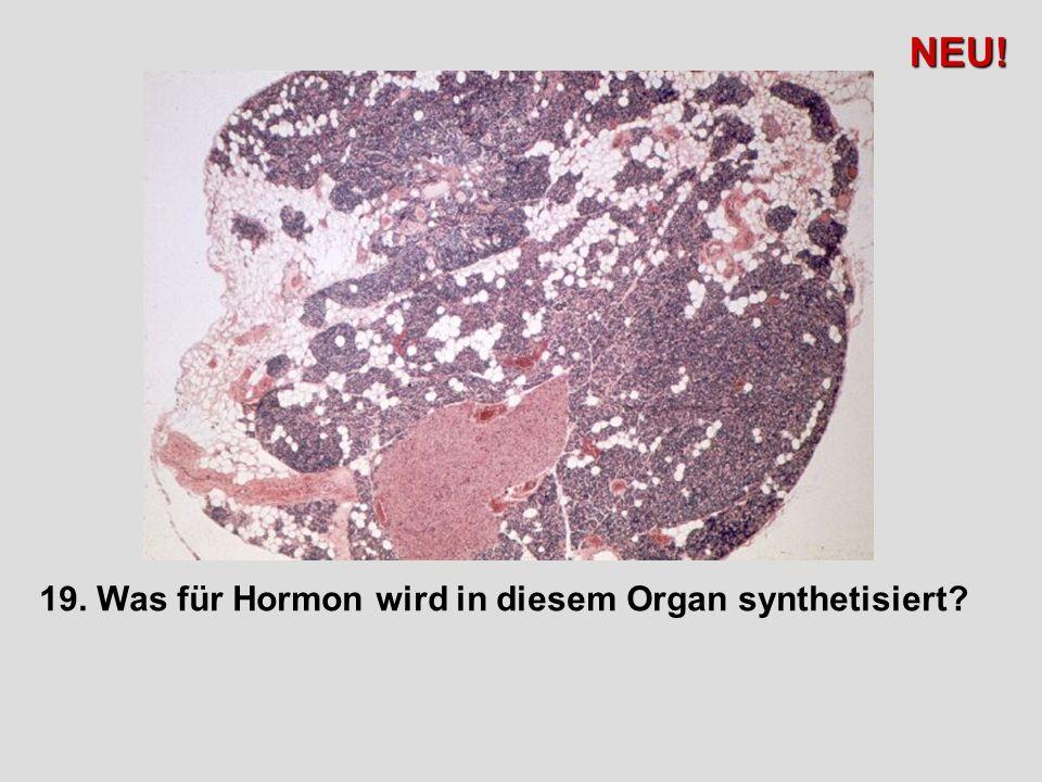 19. Was für Hormon wird in diesem Organ synthetisiert? NEU!