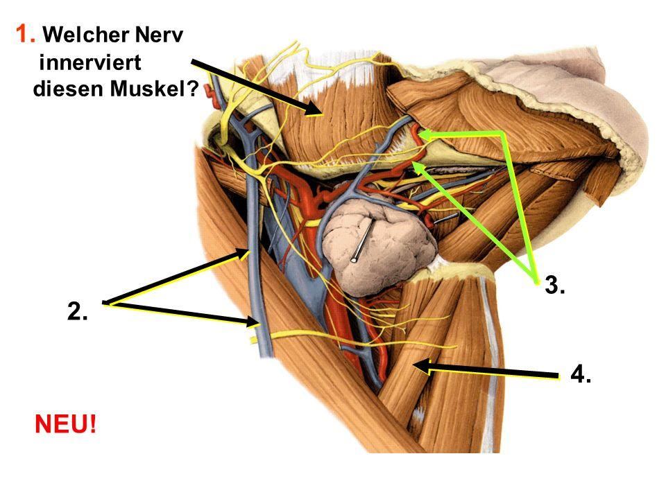 1. Welcher Nerv innerviert diesen Muskel? 2. 3. 4. NEU!