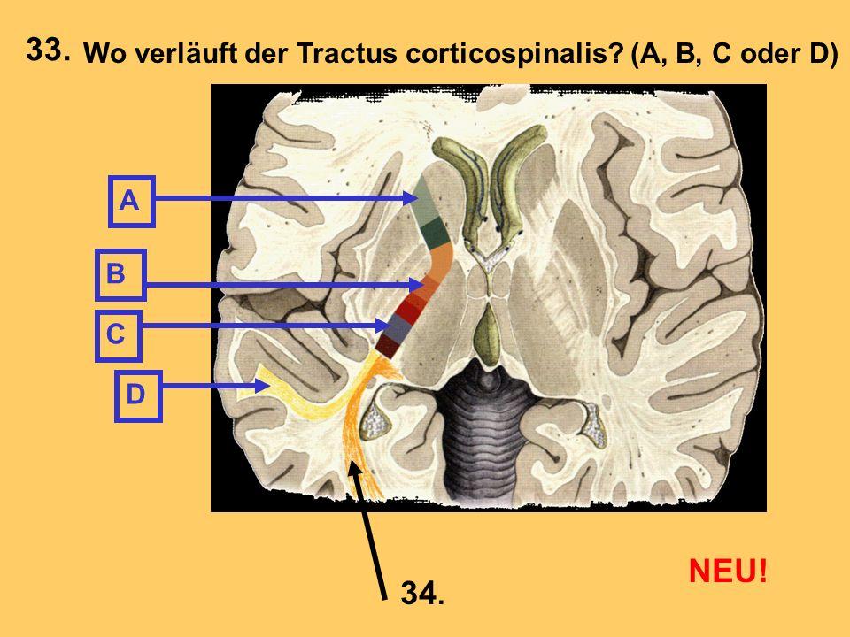 A B C D Wo verläuft der Tractus corticospinalis? (A, B, C oder D) 34. 33. NEU!