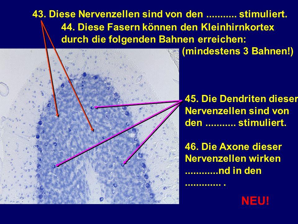 43. Diese Nervenzellen sind von den........... stimuliert. 44. Diese Fasern können den Kleinhirnkortex durch die folgenden Bahnen erreichen: (mindeste