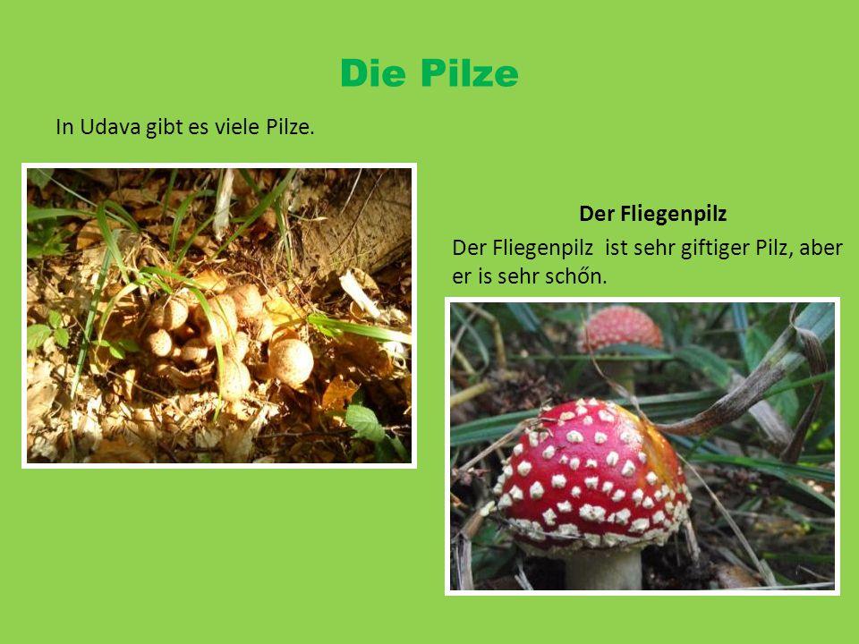 In Udava gibt es viele Pilze. Die Pilze Der Fliegenpilz Der Fliegenpilz ist sehr giftiger Pilz, aber er is sehr schőn.