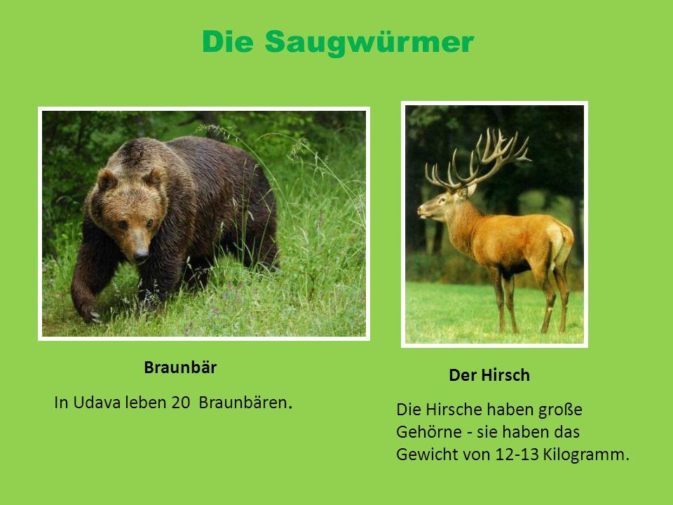 Die Saugwürmer Braunbär Der Hirsch In Udava leben 20 Braunbären. Die Hirsche haben große Gehörne - sie haben das Gewicht von 12-13 Kilogramm.