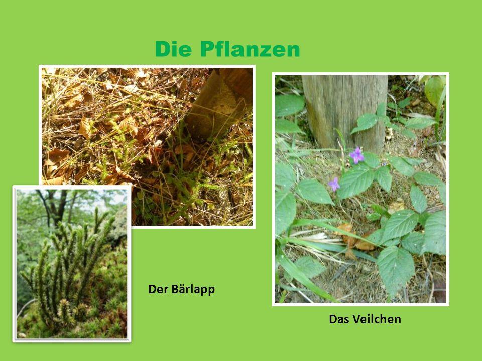 Die Pflanzen Der Bärlapp Das Veilchen