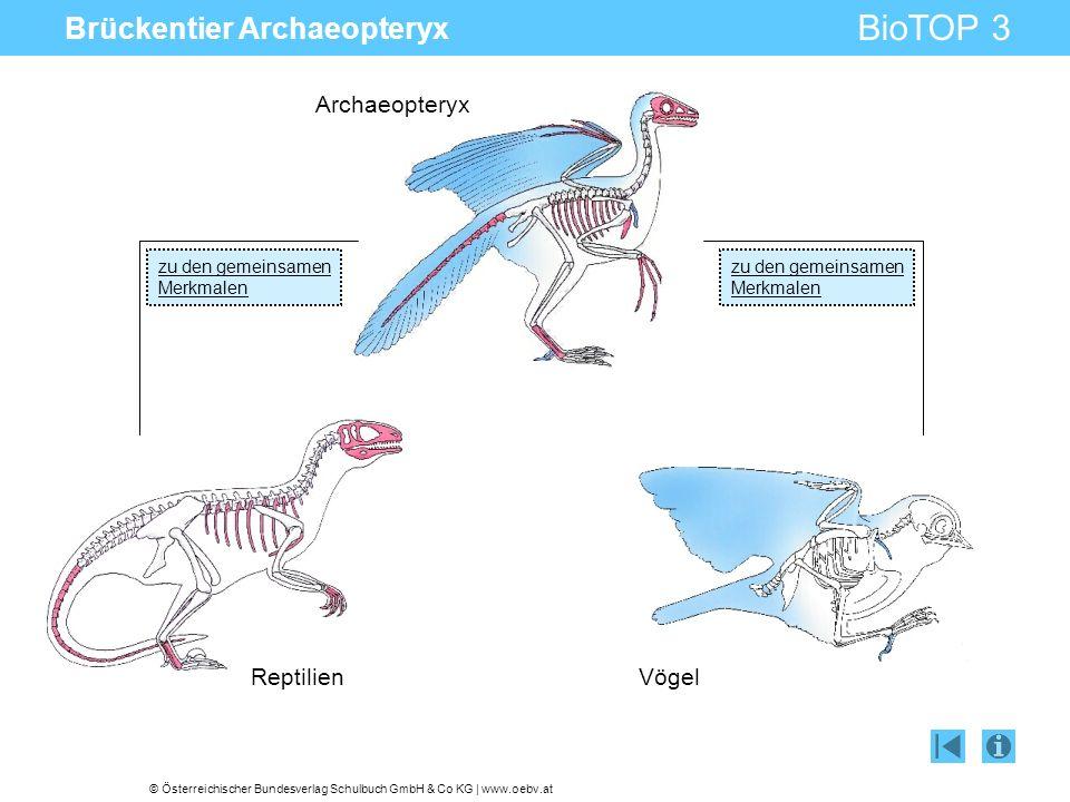 © Österreichischer Bundesverlag Schulbuch GmbH & Co KG | www.oebv.at BioTOP 3 Brückentier Archaeopteryx Reptilien Vögel Archaeopteryx zu den gemeinsam