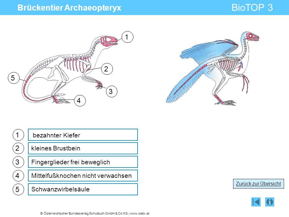 © Österreichischer Bundesverlag Schulbuch GmbH & Co KG | www.oebv.at BioTOP 3 Brückentier Archaeopteryx 1 2 3 4 kleines Brustbein Fingerglieder frei beweglich Mittelfußknochen nicht verwachsen bezahnter Kiefer 5 Schwanzwirbelsäule 1 2 3 4 5