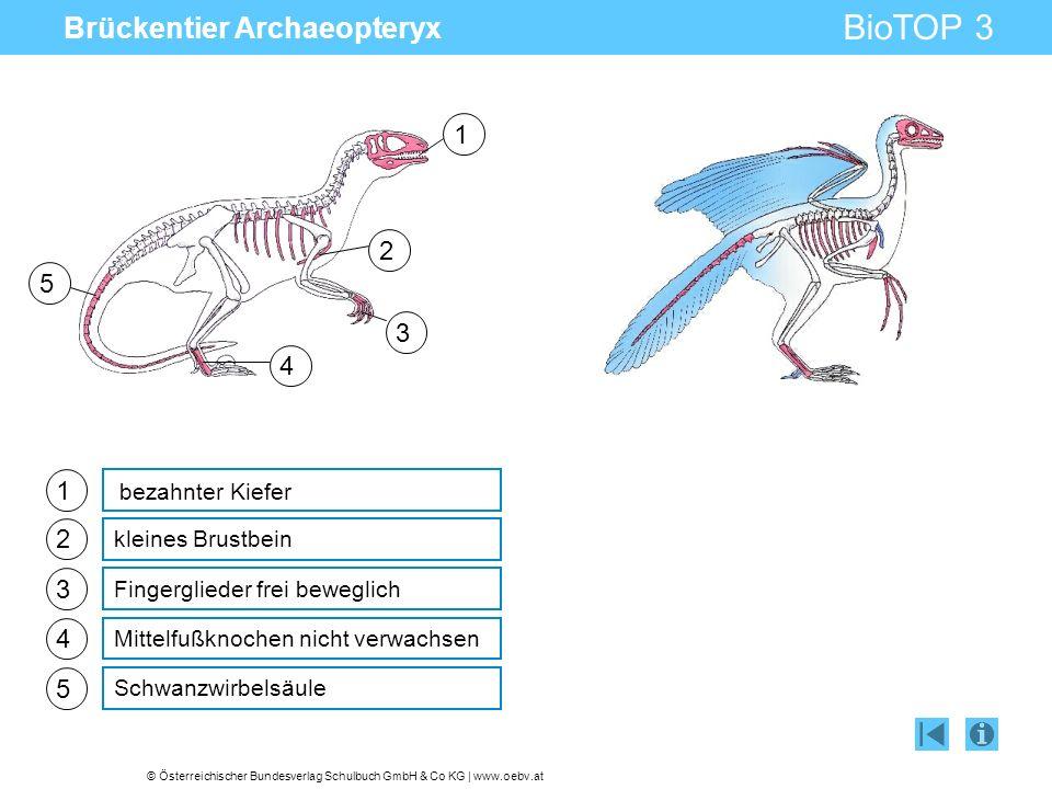 © Österreichischer Bundesverlag Schulbuch GmbH & Co KG | www.oebv.at BioTOP 3 Brückentier Archaeopteryx 1 2 3 4 kleines Brustbein Fingerglieder frei b