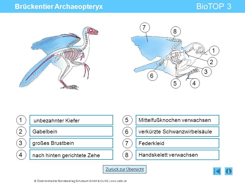 © Österreichischer Bundesverlag Schulbuch GmbH & Co KG | www.oebv.at BioTOP 3 Brückentier Archaeopteryx 1 2 3 4 Gabelbein großes Brustbein nach hinten gerichtete Zehe unbezahnter Kiefer 5 Mittelfußknochen verwachsen 6 verkürzte Schwanzwirbelsäule 7 Federkleid 8 Handskelett verwachsen 1 2 3 4 5 6 7 8