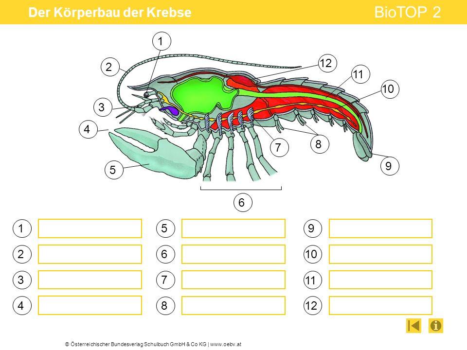 © Österreichischer Bundesverlag Schulbuch GmbH & Co KG | www.oebv.at BioTOP 2 Der Körperbau der Krebse 1 3 4 5 6 7 2 8 9 10 11 12 4 1 2 3 5 6 7 8 9 10