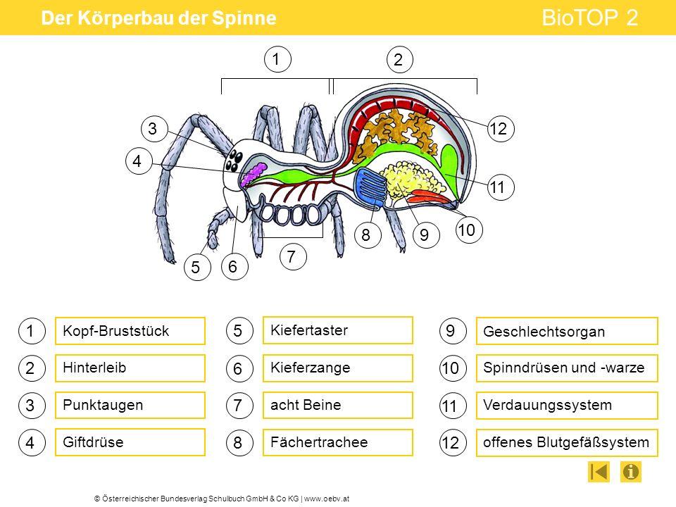 © Österreichischer Bundesverlag Schulbuch GmbH & Co KG | www.oebv.at BioTOP 2 Der Körperbau der Spinne 1 3 4 5 6 7 Giftdrüse acht Beine Kieferzange 9 10 Geschlechtsorgan offenes Blutgefäßsystem 1 2 Verdauungssystem Kiefertaster Fächertrachee 2 8 11 12 Kopf-Bruststück Hinterleib 3 4 Spinndrüsen und -warze Punktaugen 6 5 7 89 12 11 10