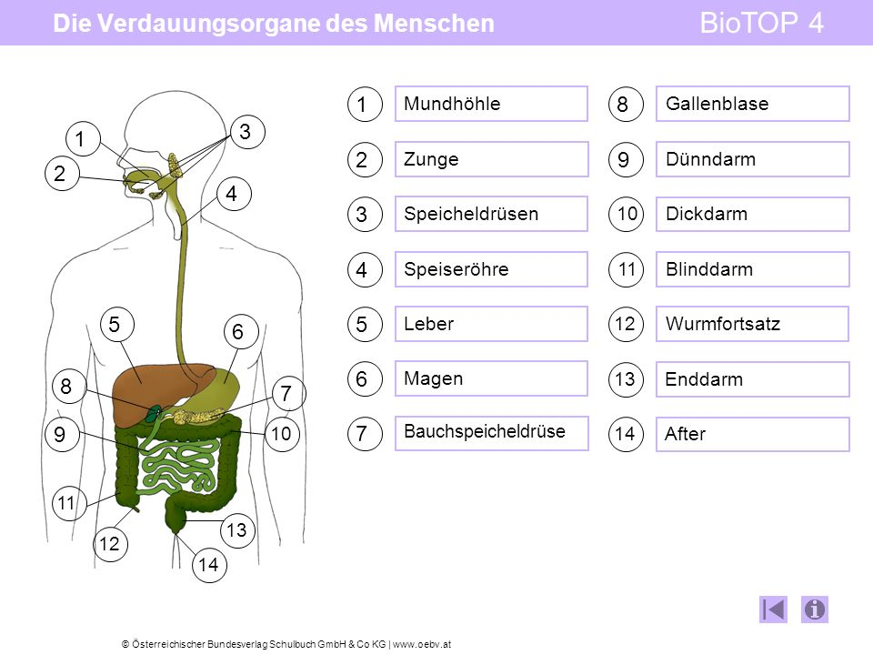 © Österreichischer Bundesverlag Schulbuch GmbH & Co KG   www.oebv.at BioTOP 4 Die Verdauungsorgane des Menschen 1 2 3 4 5 6 7 8 9 11 10 13 14 7 6 4 3 5 9 10 2 1 11 12 14 13 8 12