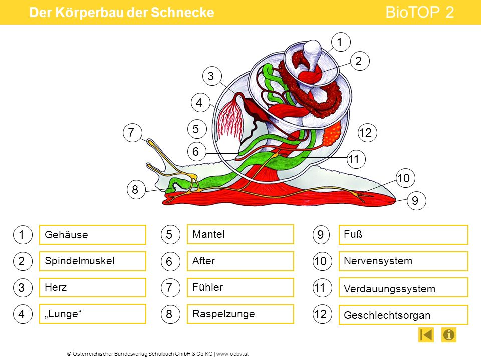 © Österreichischer Bundesverlag Schulbuch GmbH & Co KG | www.oebv.at BioTOP 2 Der Körperbau der Schnecke 1 3 4 5 6 7 Lunge Fühler After 9 Geschlechtsorgan Nervensystem Verdauungssystem Mantel Raspelzunge 2 8 Gehäuse Spindelmuskel Fuß Herz 1 2 3 4 5 6 7 8 9 10 11 12 11 10